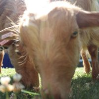 Therapy goats bring calm to Bishop's garden