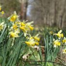 Free daffodil walks